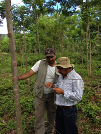 Above: Rainforest Alliance auditor Freddy Ramirez and Taking Root's Chief of Operations, Elvin Castellon, inspect the growth of a 2011 plantation.